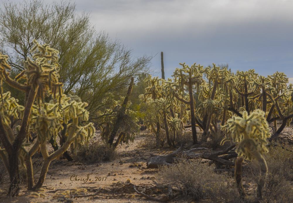 La Cholla Jumping Cactus desert